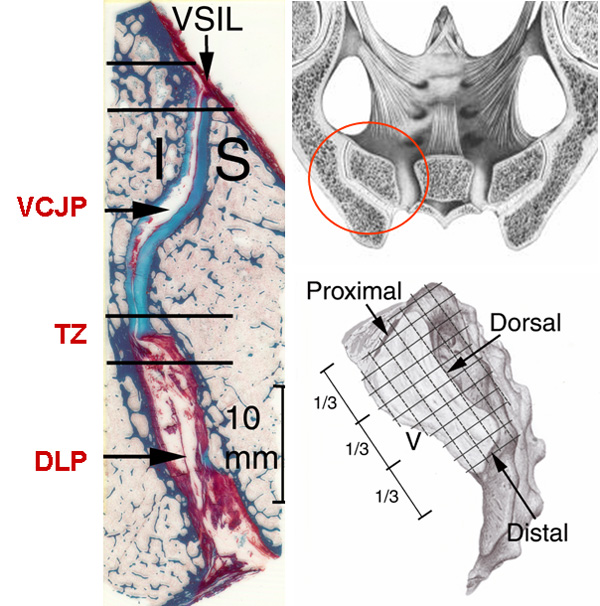 Anatomy of si joint